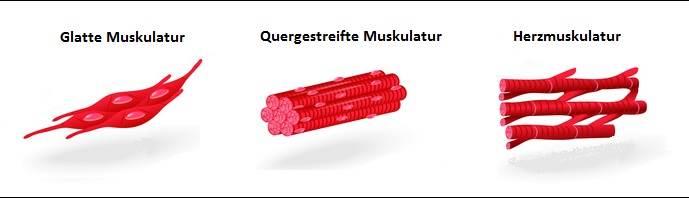 Muskeln: Funktion, Funktionsweise, Aufbau | + Arten, Formen, Fasertypen