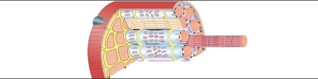 Muskelfasern-2-©-turhanerbas-Fotolia.com-kleiner